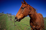 Horse and Fence, near Lafayette, Contra Costa County, CALIFORNIA