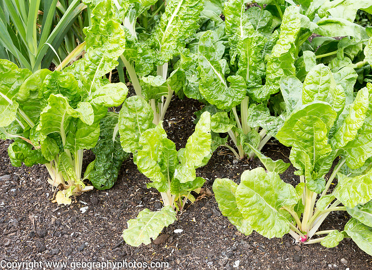 Hauser and Wirth art gallery garden, Durslade Farm, Bruton, Somerset, England, UK organic vegetables growing Swiss Chard