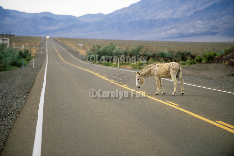 White jackass crosses US 95 in central Nevada.