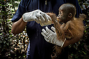 Arista Ketaran feeds milk to a 1 year old Orang-utan, Gokong at the Batu Mbelin Quarantine Centre for Orang-utan in Deli Serdang district in Sumatra, Indonesia.
