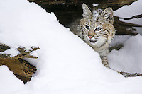 Young Bobcat (felis rufus) peering out from under a snow covered log near Kalispell, Montana, USA - Captive Animal