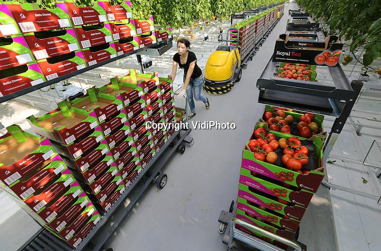 Foto: VidiPhoto<br /> <br /> DINTELOORD - In de gloednieuwe 12,5 ha. grote kassen van tomatenteler Jan van Marrewijk in het Brabantse Dinteloord, worden donderdag de eerste trostomaten (Bella Donna) van het seizoen geoogst. Het plukken gebeurt met een zogenoemde buisrailkar. De volle karren rijden automatisch via lussen in de vloer naar het verwerkingsgedeelte.