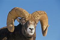 Mature Bighorn Sheep Ram (Ovis canadensis).  Northern Rockies, Late Fall.