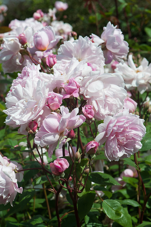 Rosa Mortimer Sackler ('Ausorts'), late June. A climbing English Musk Hybrid rose from David Austin. The right to name this rose was auctioned on behalf of The National Trust to raise funds for their gardens. It was bought by Mrs. Sackler for her husband Mortimer's birthday.