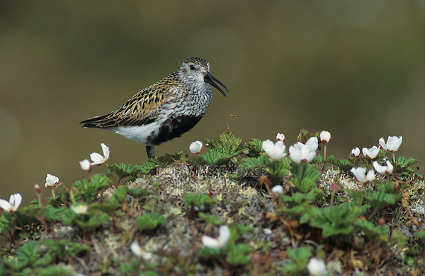 Dunlin, Calidris alpina,adult calling, Gednjehogda, Norway, Europe