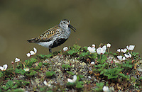 Dunlin, Calidris alpina,adult calling, Gednjehogda, Norway, Europe