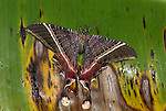 Moth Uraniidae sp. Costa Rica, in rain on leaf, tropical jungle, birghtly coloured, tails, dayflying.Central America....