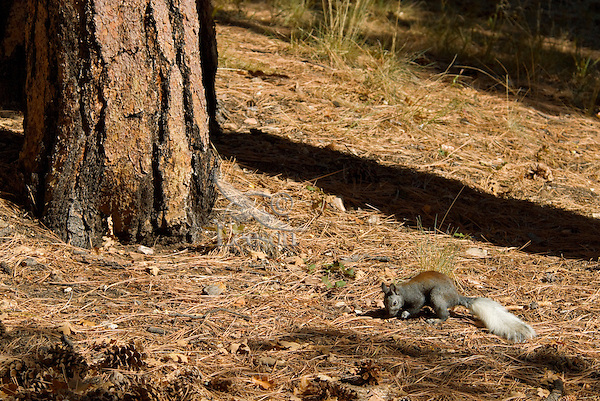 Kaibab Squirrel (Sciurus aberti Kaibabensis) found in the ponderosa pine forests along the north rim of the Grand Canyon.