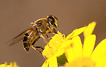 Eristalis pertinax hoverfly