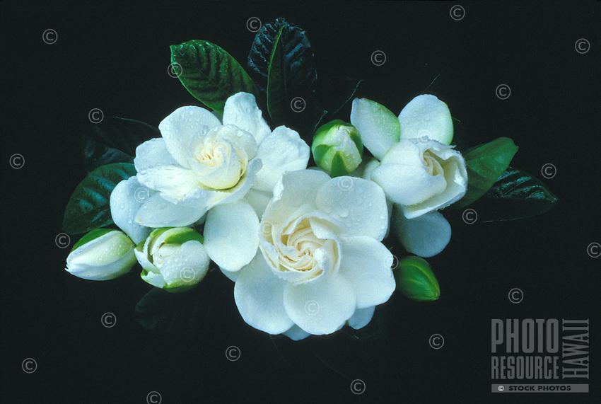 Gardenia flowers, jasminoides (fujiura)