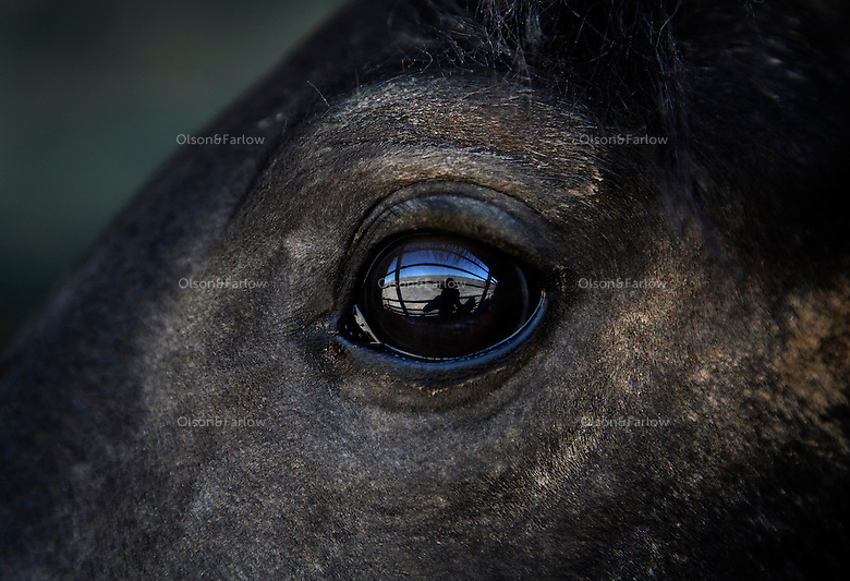 A captured wild horse eyes his surroundings after captured in Nevada.