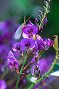 False Sarsaparilla (Hardenbergia violacea) with Mayfly. Gundagai area, NSW