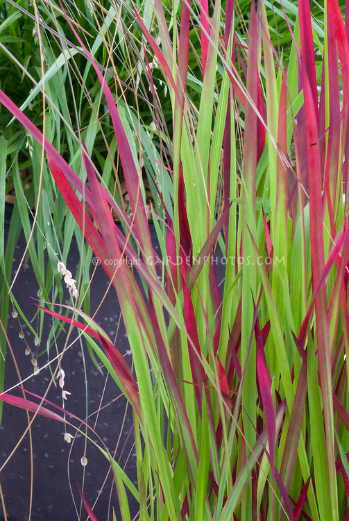 Imperata cylindrica rubra plant flower stock for Red landscaping grass