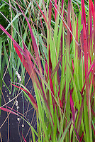 Imperata cylindrica Rubra ornamental grass in red and green foliage (Bloodgrass)