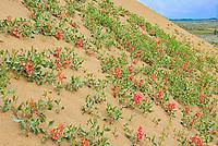 Veiny dock or wild begonia (Rumex venosus)  growing  on the sand in the Great Sandhills<br />Great Sandhills<br />Saskatchewan<br />Canada