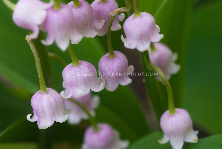 Pink Lily of the Valley in flower, Convallaria majalis ...