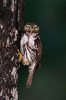 Ferruginous Pygmy-Owl, Glaucidium brasilianum, adult with mouse prey at nesting cavity, Willacy County, Rio Grande Valley, Texas, USA