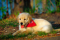 Golden retriever puppy lying down outside.