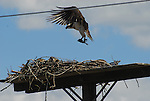 Osprey landing with fish at nest on platform