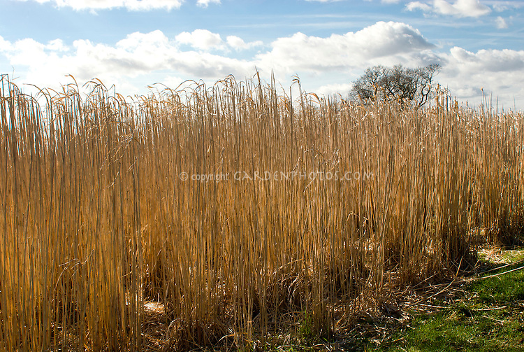 miscanthus giganteus biofuel crop plant flower stock photography. Black Bedroom Furniture Sets. Home Design Ideas