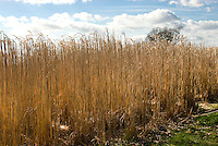 Miscanthus x giganteus biomass biocrop in winter