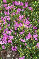 Myrtenblättrige Alpenrose, Heidelbeerblättriger Rhododendron, Myrtenblättriger Rhododendron, Rhododendron myrtifolium, alpenrose, Myrtle-leaf rhododendron