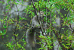 Gray squirrel feeding on  vegetation