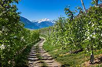 Italy, South Tyrol (Trentino - Alto Adige), Val Venosta, near Castelbello-Ciardes: Apple blossom and Ortler Alps   Italien, Suedtirol (Trentino - Alto Adige), Vischgau, bei Kastelbell-Tschars: Apfelbluete, und Ortler-Alpen