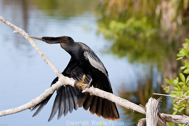 The Anhinga perches on a branch until his next dive.