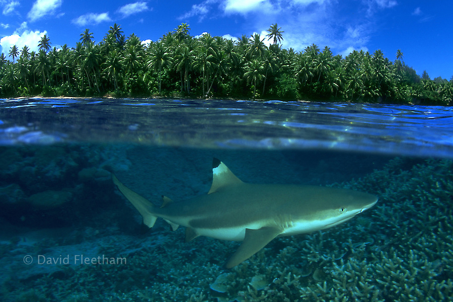 Blacktip reef sharks, Carcharhinus melanopterus, are often seen in very shallow water close to shore.  Micronesia.  Digtal Composite.