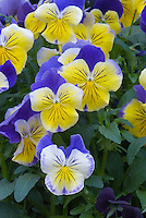 Viola 'Matrix Morpheus' (new 2007) pansy pansies