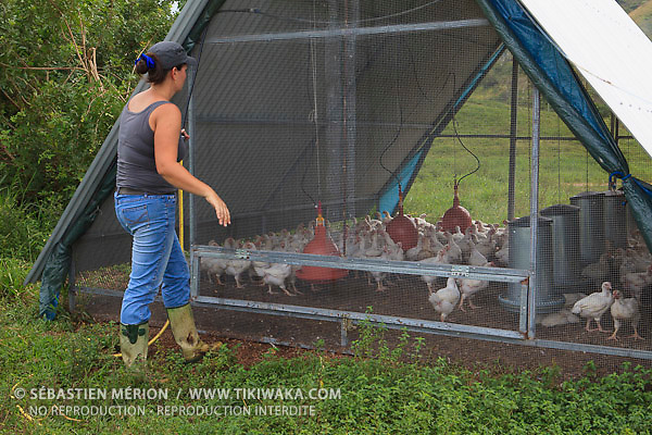 Elevage de volailles sous arches mobiles (Christelle Appaganou, éleveuse à Bourail)