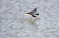0908-0908  Black Skimmer Flying Foraging for Food (Fish), Skimming Surface of Water for Fish with Lower Mandible, Rynchops niger © David Kuhn/Dwight Kuhn Photography