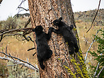 Bear cubs hold hands as they climb a tree in Yellowstone.