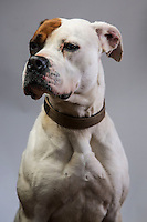 Honey, female American Bulldog x Boxer, waiting to be re homed at K9 crusaders kennels, Truro. Due to stereotyping and misconceptions of these breeds adoption proves to be extremley difficult.