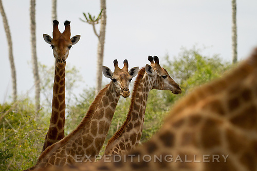 Young giraffes in Kissama National Park, Angola.