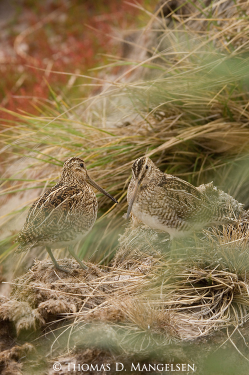 Pair of Magellanic Snipe on Carcass Island.