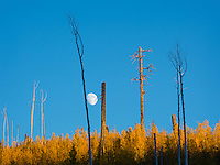A moon rises along the North Rim of the Grand Canyon.  Years after the forest fire which burned all trees in its path, yellow aspen trees are the first plants to revitalize the forest.