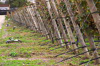 Vines with black irrigation tubing. Bacalhoa Vinhos, Azeitao, Portugal