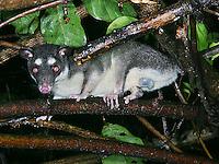 Four-eyed Opossum; Philander opossum; in shrub at night<br /> rainforest; Panama, El Valle