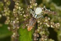 Veränderliche Krabbenspinne, Krabben-Spinne, Misumena vatia, Weibchen gut getarnt mit erbeuteter Schwebfliege, Tarnung, goldenrod crab spider
