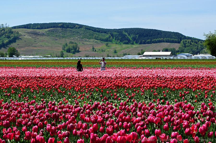 DeGoede Bulb Farm, Mossyrock, Washington, USA..Madeline Houston.8542 183rd Ave SW.Rochester, WA.98579.(360) 870-6693.mhouston@softhome.net