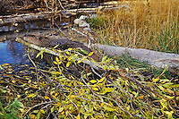 North American Beaver (Castor canadensis) dragging branch across beaver dam on its way back to lodge area.  It will place this branch in the pond near the lodge and use it for winter food.  Western U.S., fall.