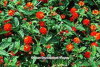 63821-155.18 Red Spread Lantana (Lantana camara)  Marion Co. IL
