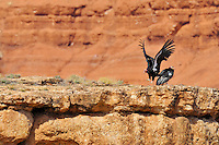 California Condor (Gymnogyps californianus) landing along Marble Canyon rim (Colorado River), Grand Canyon National Park, Arizona.