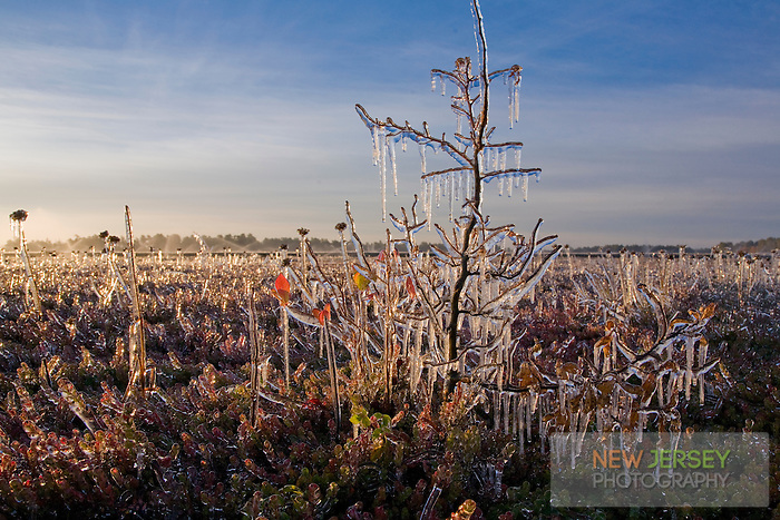 Frozen vegetation, Cranberry Bog, Pinebarrens, New Jersey