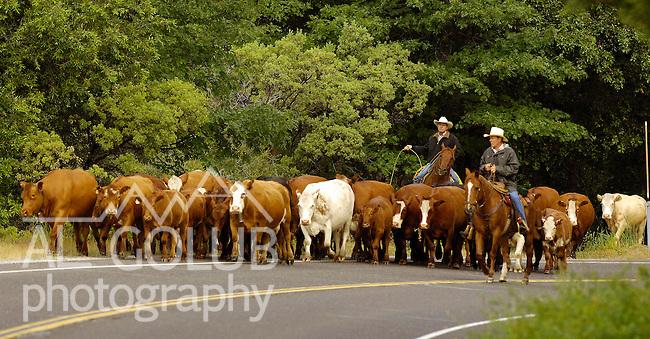 Buck Meadows, California June 9, 2005.Erickson Cattle Company drive cattle on the Highway 120 Bridge over the South Fork of the Tuolumne River...Al GOLUB/Golub Photography.