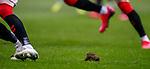 05.02.2020 Rangers v Hibs: Ibrox pitch cutting up