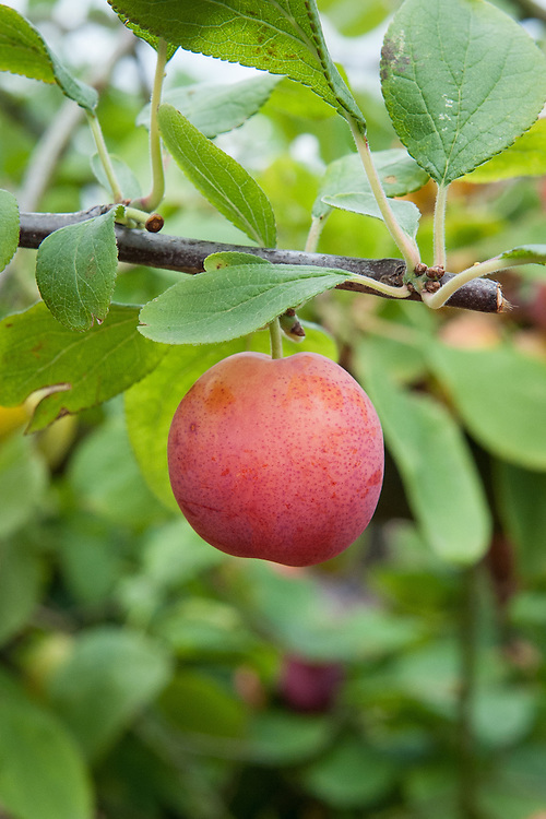 Plum 'Early Laxton', mid July. A dual-purpose culinary-dessert plum raised by Laxton Brothers, Bedford, in 1902 from a cross between 'Catalonia' and 'Rivers Early Prolific'. One of the first plums to ripen. Small to medium sized, oval-oblong fruit. Yellow skin with pinkish-red flush, red spots and lavender bloom. Juicy, golden yellow flesh. Free stone.