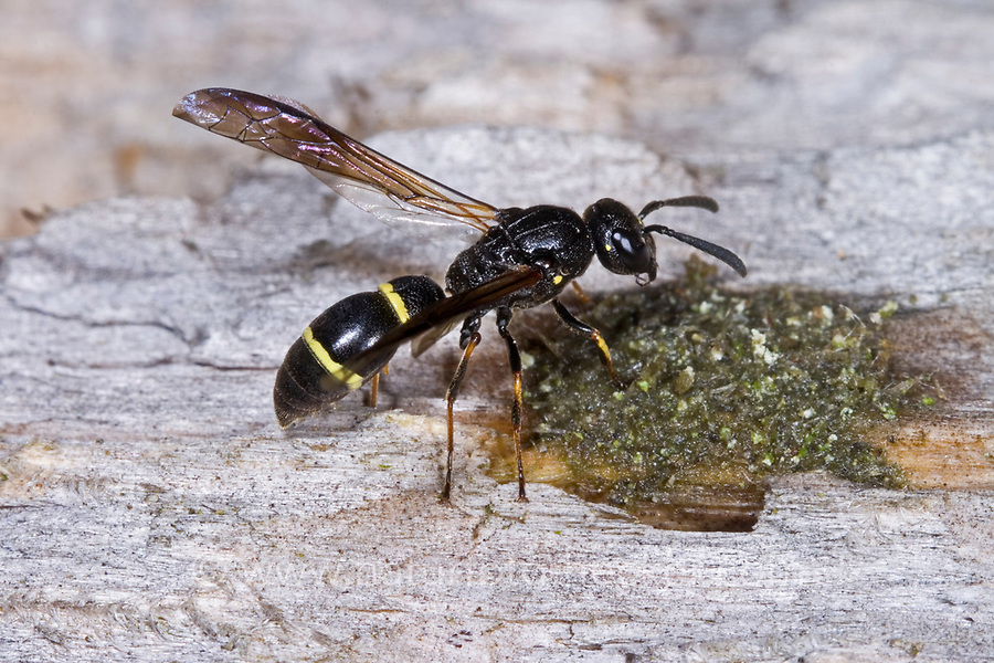 Lehmwespe, Symmorphus debilitatus, Mason wasp, Lehmwespen, Solitäre Faltenwespen, Eumenidae, Potter wasps, mason wasps